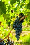 Red bunch of grapes. Red wine grapes on merlot and chabernet vineyard stock photography