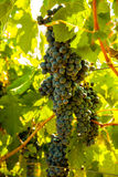 Red bunch of grapes. Red wine grapes on merlot and chabernet vineyard royalty free stock photography