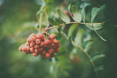 Red bunch of Rowan. On a green background in the early autumn Royalty Free Stock Image