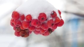 Red bunches branch of rowan covered with the first snow winter. Red bunches branch of rowan covered with first snow winter stock video footage