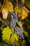 Red bunches of grape (2). Royalty Free Stock Image