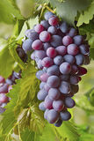 Red bunches of grape Royalty Free Stock Photos