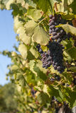 Red bunches of grape in the vineyard Stock Image