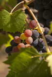 Red bunches of grape in the vineyard Stock Photos