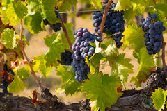 Red bunches of grapes Stock Photos