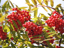 Red bunches of mountain ash in late summer. Beauty of wild nature, red berries. A plant, the fruit of a tree royalty free stock photos