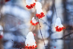 Red bunches of rowan covered with the first snow. Branch red ash after a snowfall Stock Image