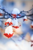 Red bunches of rowan covered with the first snow. Branch red ash after a snowfall Royalty Free Stock Images