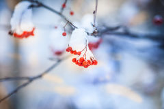 Red bunches of rowan covered with the first snow. Branch red ash after a snowfall Royalty Free Stock Image