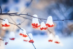 Red bunches of rowan covered with the first snow. Branch red ash after a snowfall Royalty Free Stock Photos