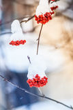 Red bunches of rowan covered with the first snow. royalty free stock photography