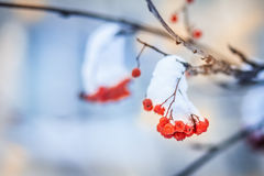Red bunches of rowan covered with the first snow. stock photography