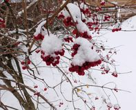 Red bunches of rowan covered with the first snow royalty free stock photography