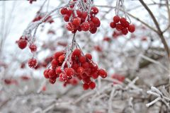 Red bunches of rowan covered with first snow, selective focus stock image