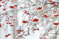 Red bunches of rowan covered with snow. Winter time Stock Photos