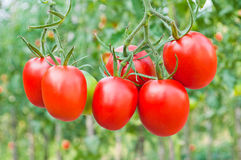 Red bunches of tomatoes close-up on a background of the garden Stock Image