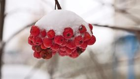 Red bunches tree branch of rowan covered with the first snow stock video