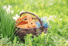 Red bunnies in basket on grass. The red bunnies in basket on grass royalty free stock photo