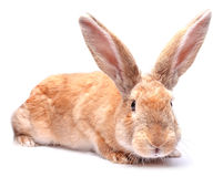 Red bunny rabbit isolated on white background sits Easter holida Royalty Free Stock Photo