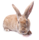 Red bunny rabbit isolated on white background sits Stock Image