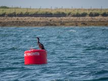 Red buoy for Yachts. Scapa Flow, orkney. Great cormorant, Phalacrocorax carbo, sitting on red buoy for mooring Yachts in Scapa Flow. Orkney, Scotland royalty free stock photos