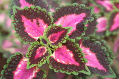 Red burgandy, pink and green leaves Royalty Free Stock Image
