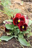 Red and burgundy flower pansy growing in a garden. Red and burgundy flower pansy (viola) growing in a garden Stock Images