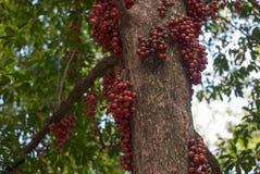 Red Burmese grape Stock Photography