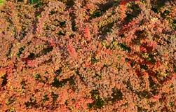 Red bush background Stock Image
