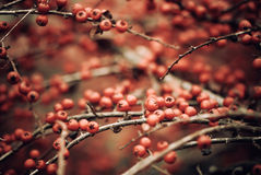 Red bush berries Royalty Free Stock Photos