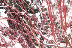 Red Bush and a fir tree. Under snow in winter Stock Images