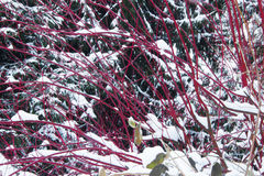 Red Bush and a fir tree. Under snow in winter Stock Photo