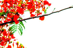 Red bush flower in the garden. On white background Royalty Free Stock Photography