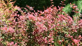 Red bush. Image was shot in Burgas Bulgaria stock video footage