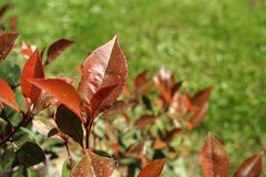 Red leaves. Red bush leaves royalty free stock photography