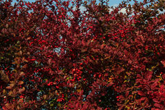 Red bush with red berry. And blue sky Stock Images