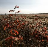 Red bush. In winter Royalty Free Stock Photos