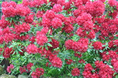 Red bush rhododendron Stock Photo