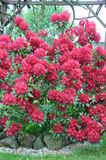 Red bush rhododendron Stock Photos