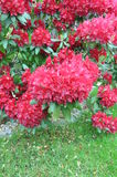 Red bush rhododendron Royalty Free Stock Photo