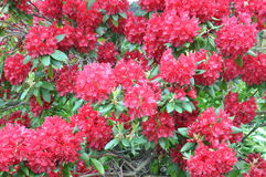 Red bush rhododendron Royalty Free Stock Images