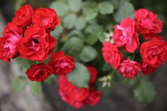 Red bush roses symmetrical. Beautiful red bush roses in bloom on leaves background Royalty Free Stock Photo