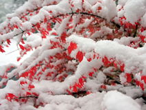 Red bush and snow Royalty Free Stock Images