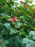 Red bush viburnum Stock Images