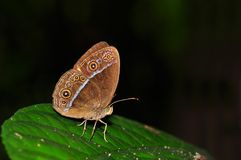 Red bushbrown butterfly. Of Thailand background Stock Photos