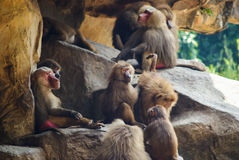 Red Baboons sitting on the rocks. Red Baboons sitting on the and picking bugs out of hair Singapore Zoo Stock Photography