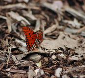 Red Butterfly. Resting on loose wood chips Stock Photos