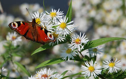 Red Butterfly. The image shows a red peacock butterfly. The butterfly is sitting on a flower with many white blooms and some green leaves. Additionally to the stock image