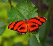 Red butterfly. On the leaf royalty free stock image