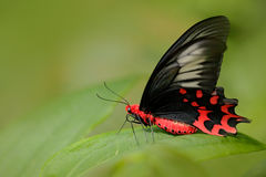 Red butterfly Beautiful black and red poison butterfly, Antrophaneura semperi, in the nature green forest habitat, Malaysia, Phili stock photos